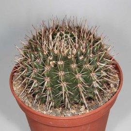 Notocactus aff. submammulosus