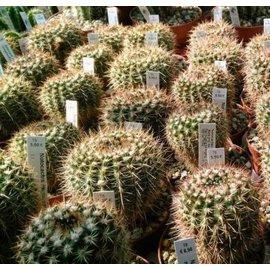 Notocactus megalanthus