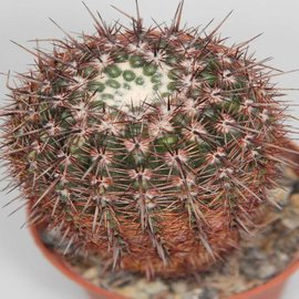 Notocactus notabilis Gf 917 v.