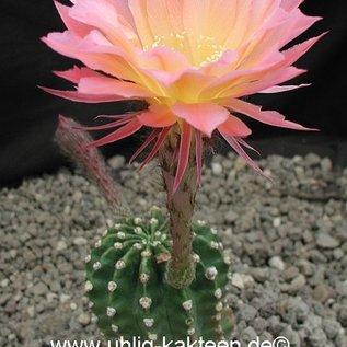 Echinopsis-Hybr. `Arabelle` Rheingold 211