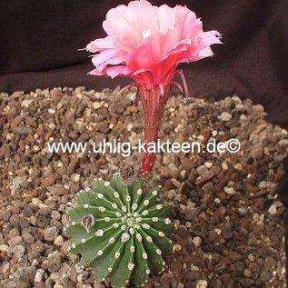 Echinopsis-Hybr. `Bolero` Rheingold 268
