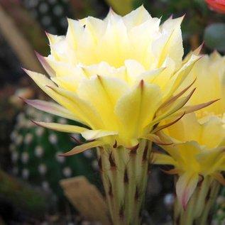 Echinopsis-Hybr. `Burkina Faso`