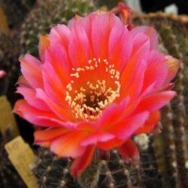 Echinopsis-Hybr. `CHA CHA CHA` Rheingold 274