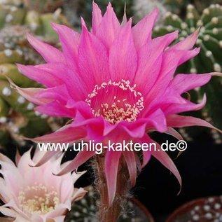 Echinopsis-Hybr. `Cinderella` Rheingold 247