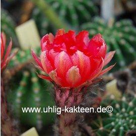 Echinopsis-Hybr. `Consuela` Rheingold 291