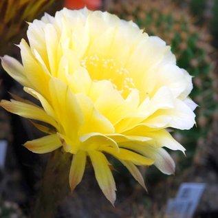Echinopsis-Hybr. `Coquette`  Schick Hybride