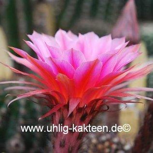 Echinopsis-Hybr. `Doris` Rheingold 284