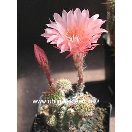 Echinopsis-Hybr. `Fair Lady` Rheingold 277