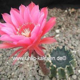 Echinopsis-Hybr. `Flamingo` Rheingold 279
