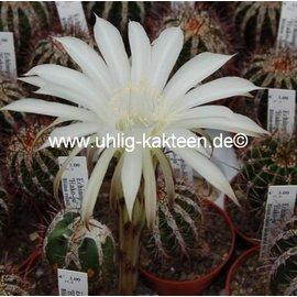 Echinopsis-Hybr. `Haku-jo`