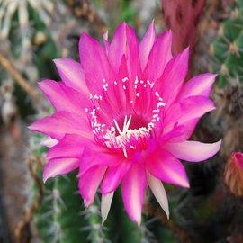 Echinopsis-Hybr. `Hanna`