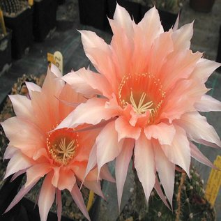 Echinopsis-Hybr. `Isabelle` Rheingold 208