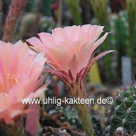 Echinopsis-Hybr. `Lachs Paramount` Pa 1
