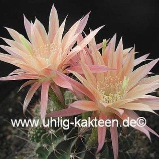 Echinopsis-Hybr. `Morgenrot` Uebelm. 3206