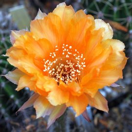 Echinopsis-Hybr. `Nibelungenschatz` Rheingold 259
