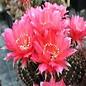 Echinopsis-Hybr. `Rosita`  Rheingold 269