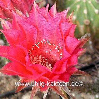 Echinopsis-Hybr. `Serenade` Rheingold 235