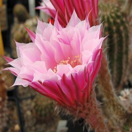 Echinopsis-Hybr. `Troubadur` Rheingold 207
