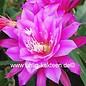 Epiphyllum-Hybr. `Dolly Paetz`