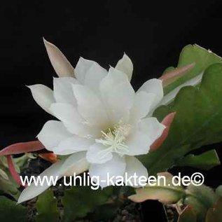 Epiphyllum-Hybr. `Elfenbein`