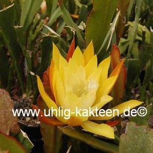 Epiphyllum-Hybr. `Hum Dinger`