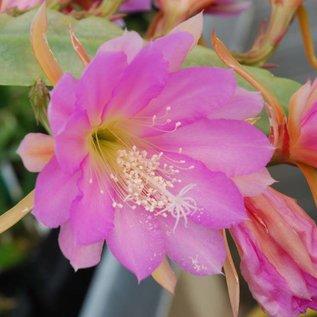 Epiphyllum-Hybr. `Irena Paetz`