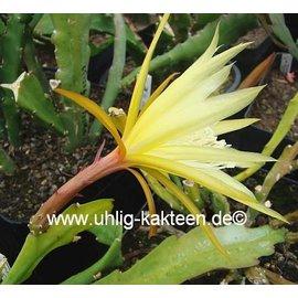 Epiphyllum-Hybr. `Lotto`