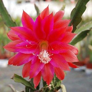 Epiphyllum-Hybr. `Lores Überraschung`