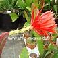 Epiphyllum-Hybr. `Luzie Paetz`
