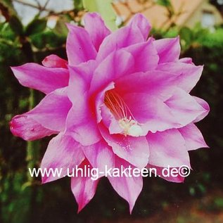 Epiphyllum-Hybr. `Olaf Paetz`
