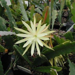 Epiphyllum-Hybr. `Sylter Frühling` PE 130
