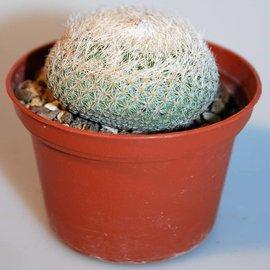 Epithelantha micromeris   Süd Sierra Co., New Mexico