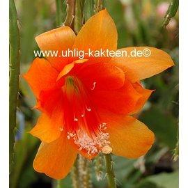 Heliocereus aurantiacus WK 394  WK 394 Nicaragua
