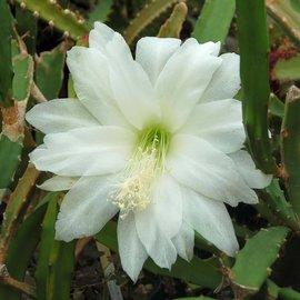 Heliocereus speciosus  v. amecamensis Blüte weiß / white