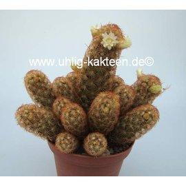 Mammillaria elongata  cv. `Rufocrocea`