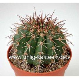 Melocactus conoideus      CITES