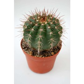 Melocactus oreas ssp. cremnophilus