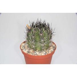 Neochilenia paucicostata