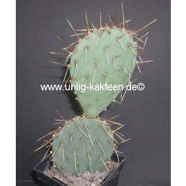 Opuntia phaeacantha HK 1858 `Pueblitos` Blüte gelb    (dw)