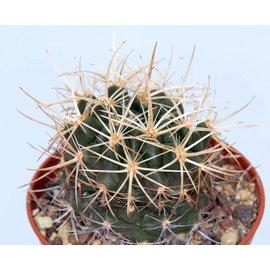 Pyrrhocactus aff.  spec. Ovalle `golddornig`