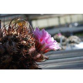 Echinocereus ferreirianus  v. lindsayi    CITES