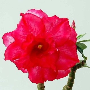 Adenium obesum  Triple Forte et Claire Rose´  zur Zeit mit kulturbedingtem Rückschnitt /  currently with culture-related cut back gepfr.