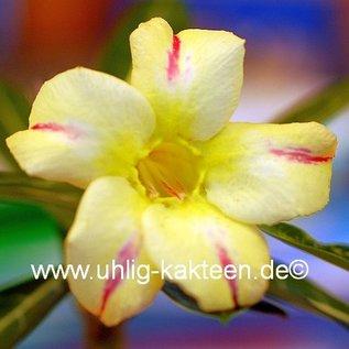 Adenium obesum  cv. Wasp   gepfr.