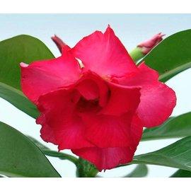 Adenium obesum  `Pink Perfection`  gepfr.