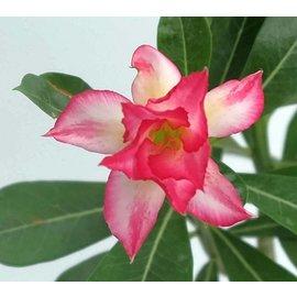 Adenium obesum  `Pink Spider`  gepfr.
