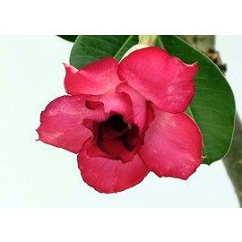 Adenium obesum  `Red Rackham`s Treasure`  gepfr.