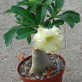 Adenium obesum CA 01 cv. Lemon Ice   gepfr.