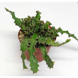 Euphorbia brevitorta   Kenya