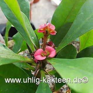 Euphorbia milii-Hybr.    rote Blüten