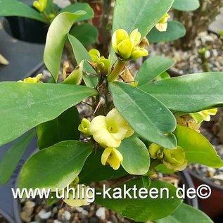 Euphorbia milii-Hybr.    gelbe Blüten